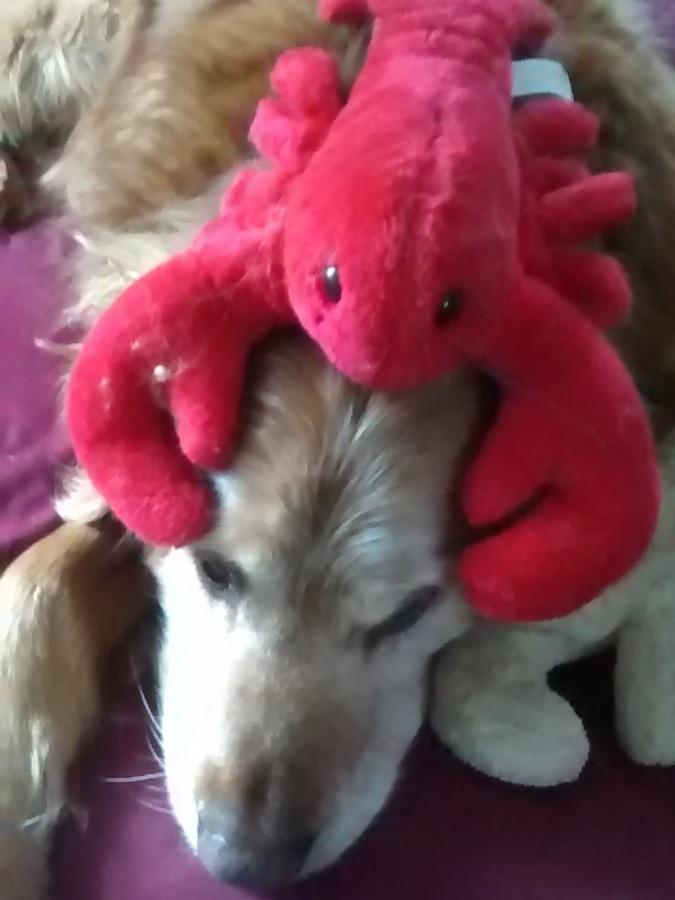 Fluffster Lobster