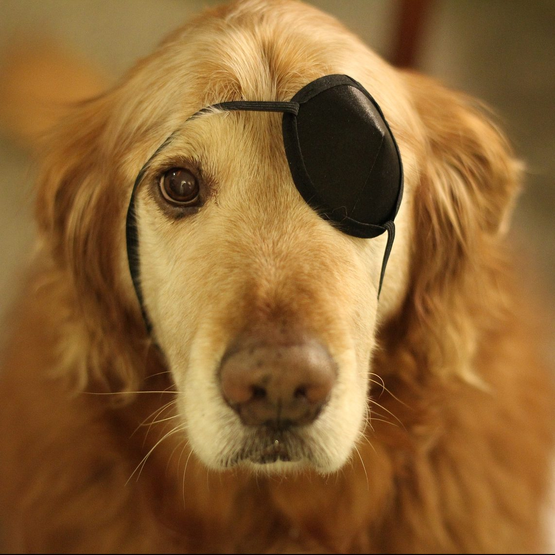 Golden Retriever, Fluffster, looking at camera with eye patch