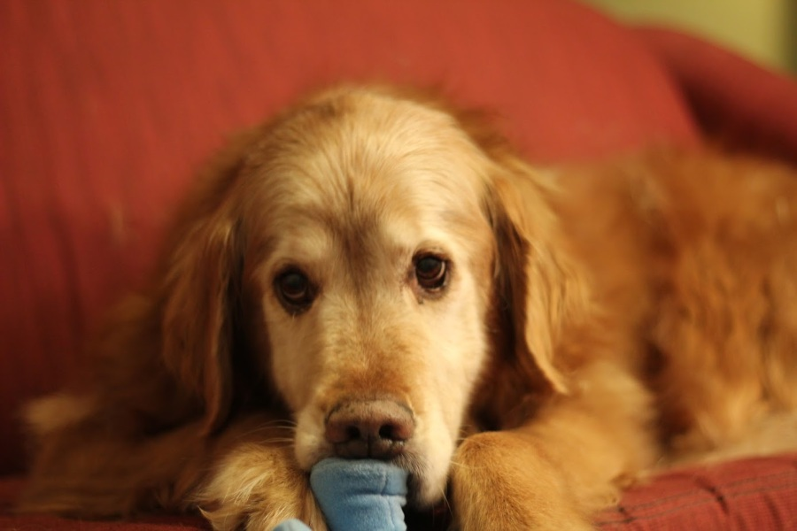 Fluffster nomming on a toy, looking adorable as always