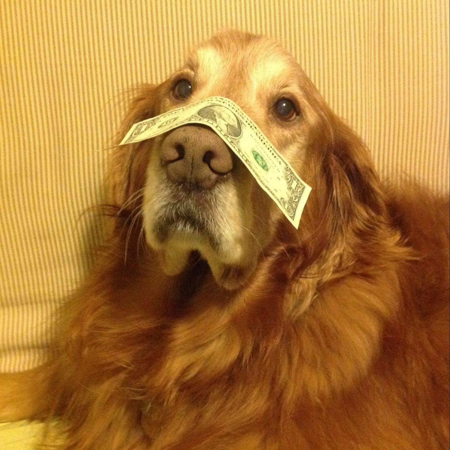 Fluffster with money on snout
